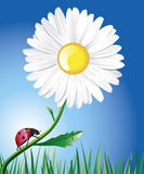 A daisy and a ladybug. A bright red ladybug is crawling along a beautiful daisy stem stalk. Clear blue sky and green grass are on a background of a composition
