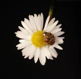 Daisy and ladybug Stock Images