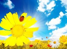 Daisy and ladybug Stock Image
