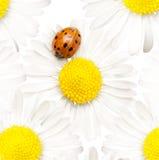 Daisy with ladybug Stock Images