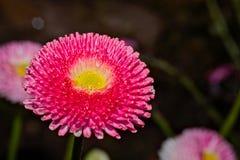 Daisy - lat.Bellis perennis - daisy family