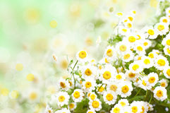 Daisy lawn Stock Images