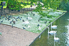 Daisy lawn in St James Park, London. White daisy lawn with swans and other birds searching for food  in Saint James Park London Stock Photo