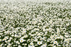 Daisy Leucanthemum vulgare field Stock Image