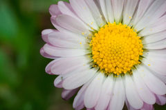 Daisy (Leucanthemum vulgare) Stock Photo