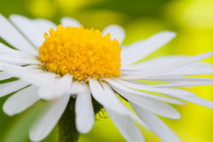 Daisy (Leucanthemum vulgare) Stock Image
