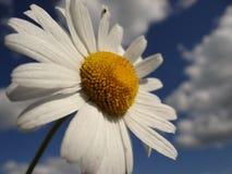 Daisy is like a cloud and the sun in the sky Stock Photos