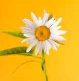 The daisy-like flower Royalty Free Stock Image