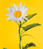 The daisy-like flower Stock Image