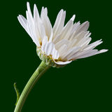 The daisy. Like flower is a species of flowering plant in the aster family royalty free stock images