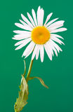 The daisy-like. Flower is a species of flowering plant in the aster family known by the common name max chrysanthemum stock photo