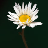 The daisy-like. Flower is a species of flowering plant in the aster family known by the common name max chrysanthemum royalty free stock photo