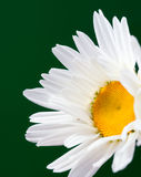 The daisy-like. Flower is a species of flowering plant in the aster family known by the common name max chrysanthemum stock photos