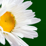 The daisy-like. Flower is a species of flowering plant in the aster family known by the common name max chrysanthemum stock image
