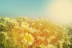 Daisy like white flower in flower field or garden Stock Image