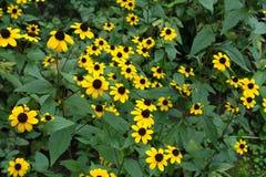 Daisy like yellow flowerheads of Rudbeckia. Daisy like yellow flower heads of Rudbeckia Royalty Free Stock Image