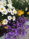 Daisy lobelia balcony. Flowers of summer Royalty Free Stock Images