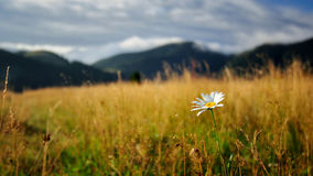 Daisy. Lonely daisy. Photo was taken early in the morning in the Carpathians. Ukraine. Late summer Stock Photography