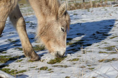 Daisy is looking after grass. Under the snow blanket the foal is looking for grass Stock Photos