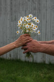 Daisy Love. Man giving a bouquet of daisies to a woman Royalty Free Stock Photos