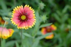Daisy. Lovly daisy flower in garden Stock Image