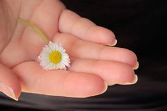 Daisy lying in the palm of a hand. Daisy lying in the palm of a woman`s hand, dark background stock images