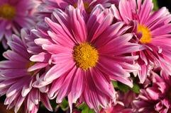 Daisy macro royalty free stock photo