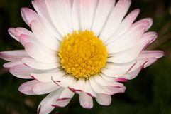 Daisy macro Royalty Free Stock Photography