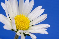 Daisy - macro Royalty Free Stock Photos