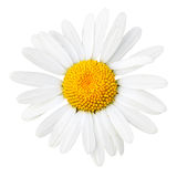 Daisy macro Royalty Free Stock Photo
