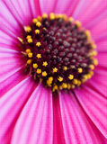 Daisy macro. A macro photo of a daisy, with very shallow depth of field. Natural colors Stock Image