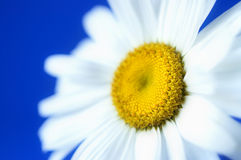Daisy in macro Stock Photos