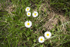 Daisy macro: bellis perennis Stock Photos