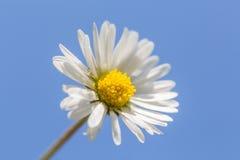 Daisy 2 Stock Photo
