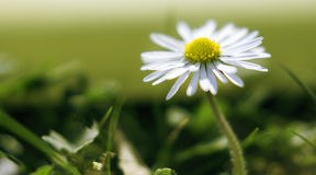 Daisy macro. Daisies in the rays of the sun Stock Image