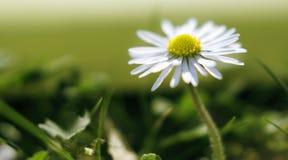Daisy macro Stock Image