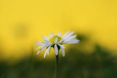 Daisy macro. Daisies  on sunny yellow background Royalty Free Stock Photos