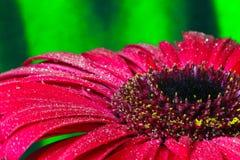 Daisy macro. Gerbera flower on green background macro Royalty Free Stock Image