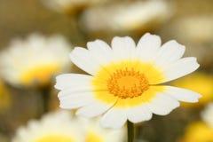 Daisy macro photo royalty free stock image