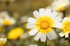 Daisy macro photo stock images