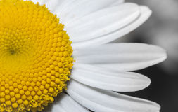 Daisy macro Stock Photography