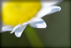 Daisy. Macro of white petal with yellow bokah background Stock Image