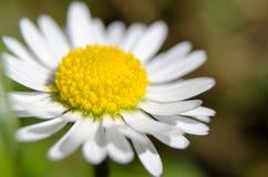 Daisy macrophotography Stock Photos