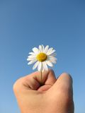Daisy in male hand. Close up of a daisy flower in male hand Royalty Free Stock Photos