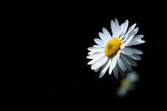Daisy with many petals sunlit Royalty Free Stock Photography