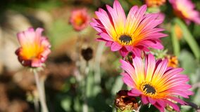 Daisy or marguerite colorful flowers, California USA. Aster or cape marigold multicolor purple violet bloom. Home