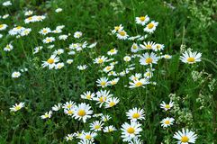 Meadow with daisy marguerites Royalty Free Stock Photos