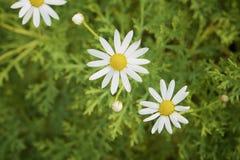 Daisy mariposa. Little white bellis at the green grass stock photos