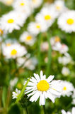 Daisy meadow Stock Images