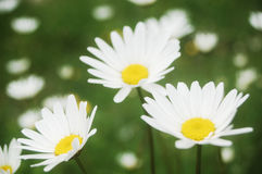 Daisy meadow Stock Photo